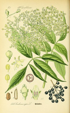 Foraging for Elderflowers to Make Cordial 4