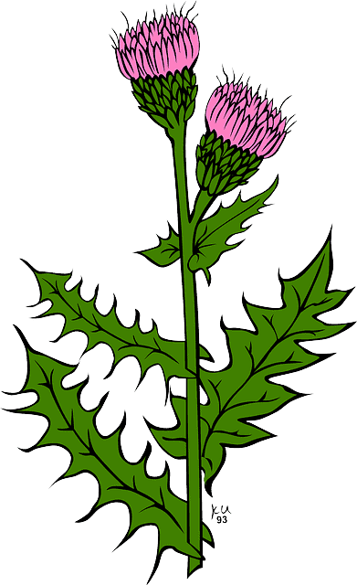 Milk Thistle – Silybum Marianum 5